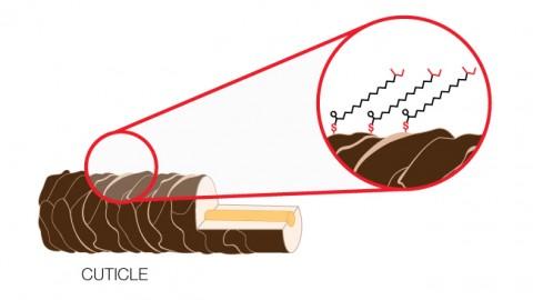 La lipide 18-MEA est un composant majeur de la cuticule de nos cheveux qui cimente ses écailles et les protègent de l'absorption excessive d'humidité (qualité hydrophobique).