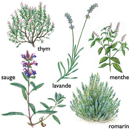 Huiles essentielles et extraits végétaux antipelliculaires