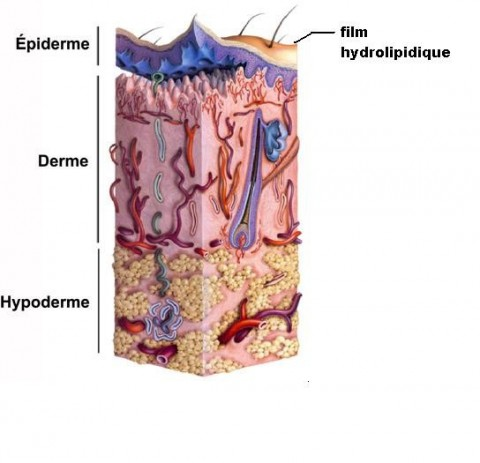 structure peau epiderme film hydrolipidique